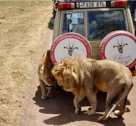 cj-lions